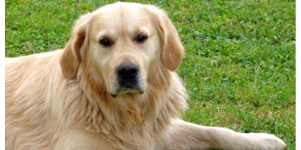 Golden Retriever beliebteste Hunderasse in Ö