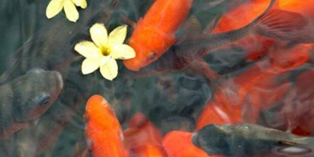 Falscher Alarm um 150 Goldfische