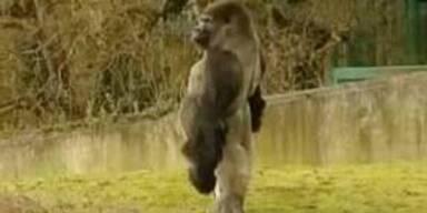 Gorilla geht aufrecht wie ein Mensch