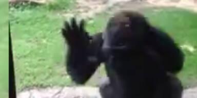 Schreck: Gorilla ist von Kindern genervt