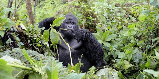 Gorilla packte und verletzte Kleinkind in Zoo