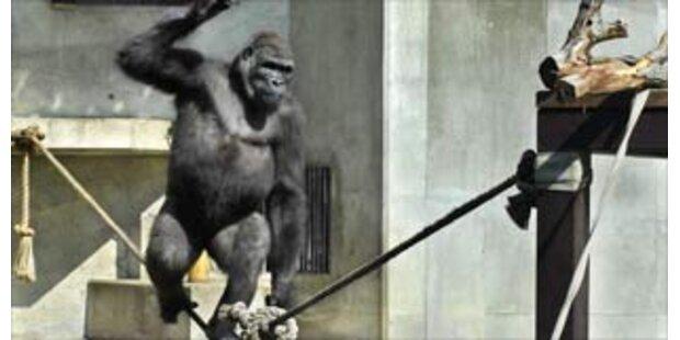 Gorilla in Japan übt sich als Seiltänzer