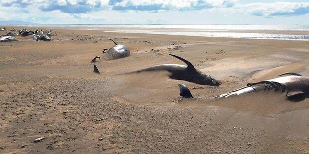 Touristen entdecken 50 tote Grindwale auf Island