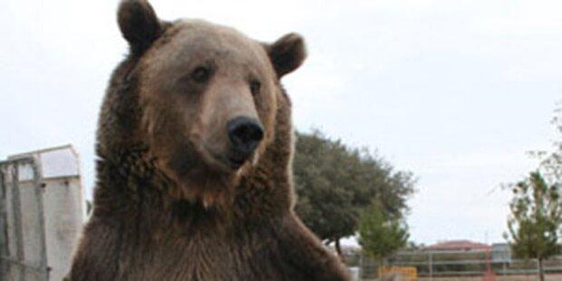 Wanderer von Grizzlybär zerfleischt