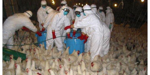 Vogelgrippe-Ausbruch nach drei Jahren