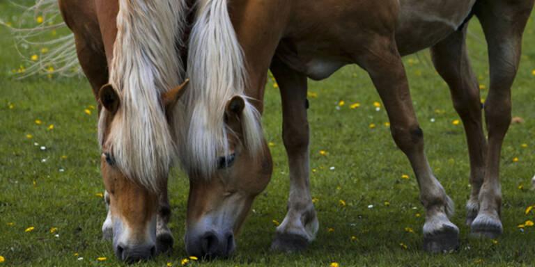 Sex mit Pferd: Polizei stoppte Tierquäler in Vorarlberg