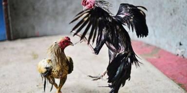 10 Tote bei Hahnenkampf in Mexiko