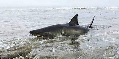 Weißer Hai an Land gespült