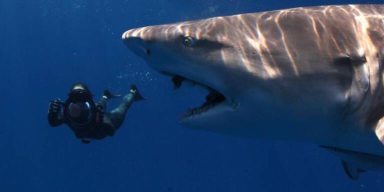 Schluckt hier ein Monster-Hai einen Taucher?