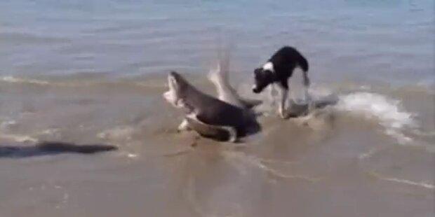 Dramatischer Kampf zwischen Hai und Orca