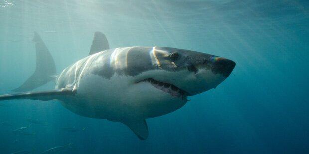Weißer Hai tötet Schwimmer