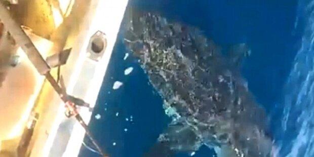 Mega-Hai vor England entdeckt