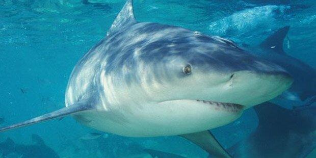 Hai-Angriffe erreichen 2015 Rekordhoch