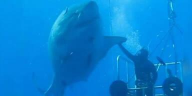 Taucher spielt mit Monster-Hai