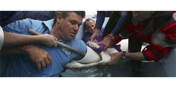 Arzt entfernt Haken aus Hai-Rachen
