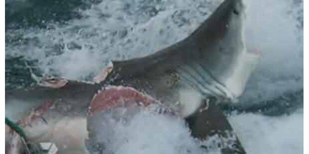 Riesen-Hai beißt weißen Hai durch
