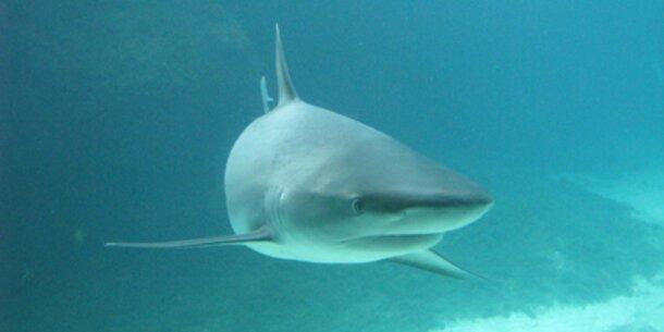 Haie bringen lebendig mehr ein als tot