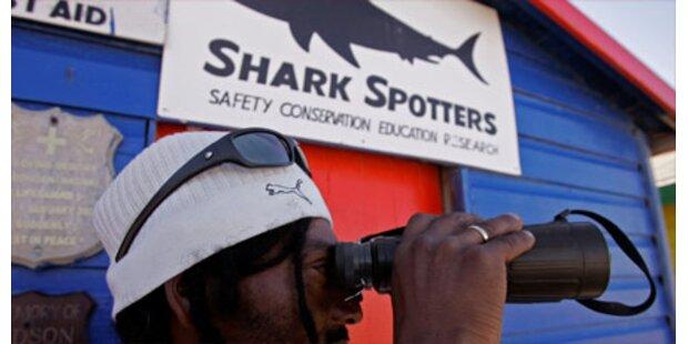 Vier-Meter-Stierhaie vor Costa Rica