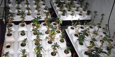 Hanfplantage in Ebreichsdorf entdeckt