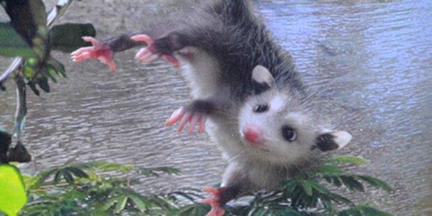 Schielendes Opossum spielt Oscar-Orakel