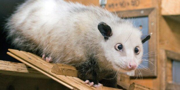 Ein schielendes Opossum als Star