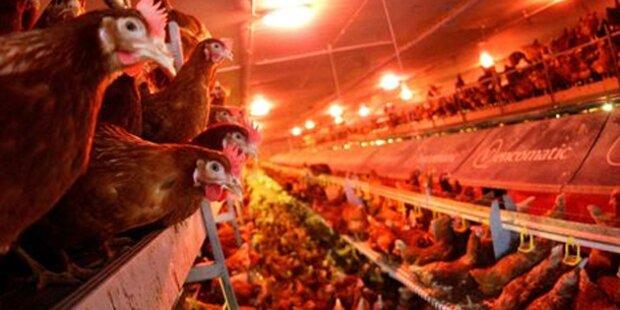 Hühnerfleisch mit Keimen verseucht