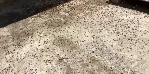 Horror auf Urlaubsinsel: Heuschrecken-Invasion