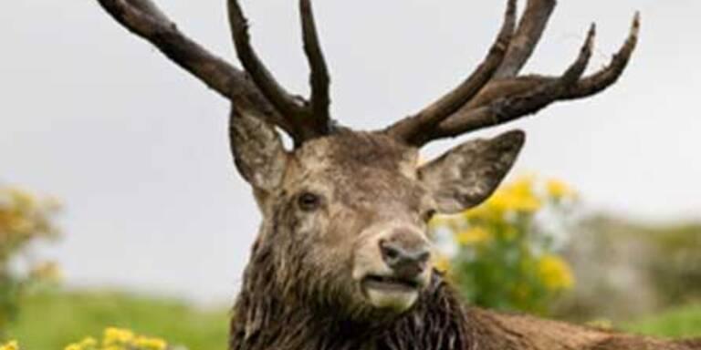 Wilderei in Österreich steigt massiv an