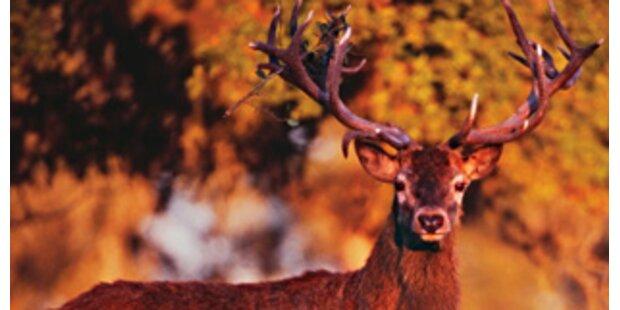 Wilderer ließ einen Hirsch qualvoll verenden
