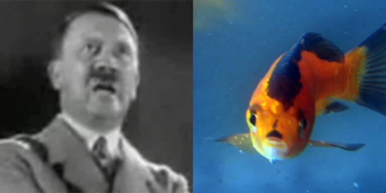 Briten lachen über Hitler-Fisch