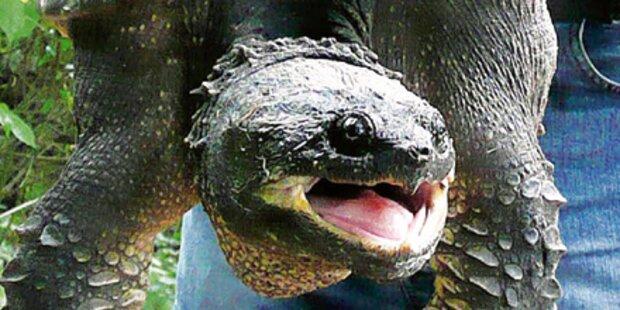 Killer-Schildkröten eingefangen