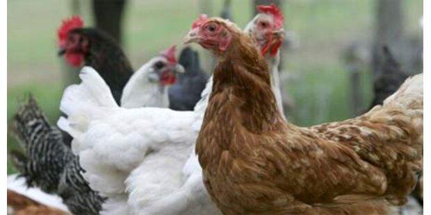 Einbrecher erschreckten Hühner zu Tode