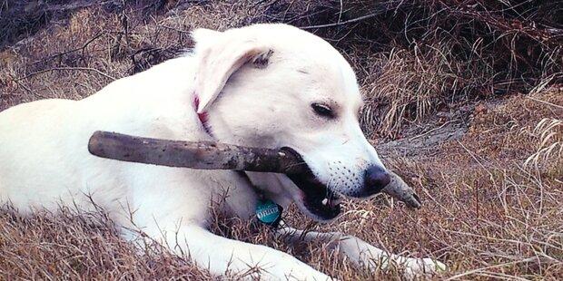 Labrador Roger starb an Rattengift