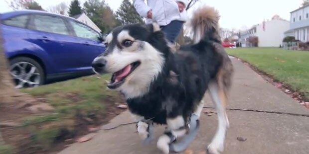 Hund kann dank 3D-Drucker laufen