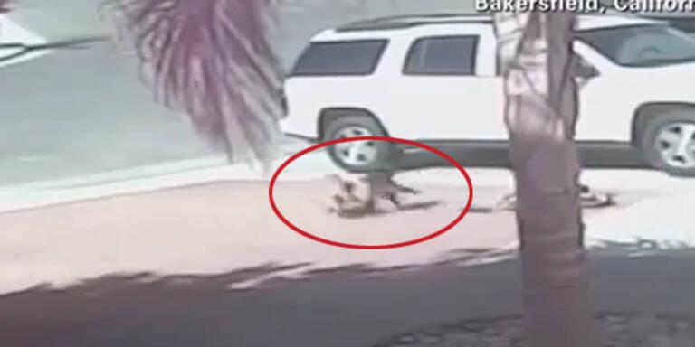 Mutige Katze rettet Bub vor Hunde-Attacke