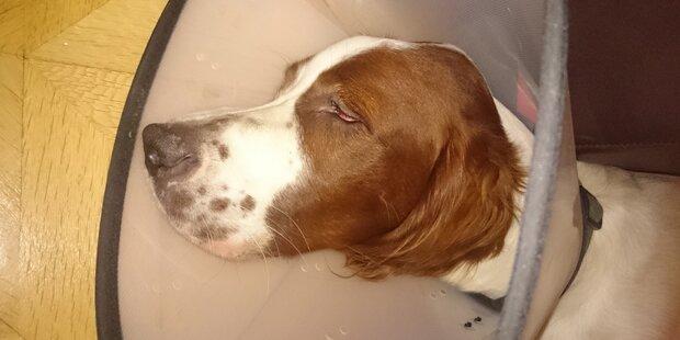 Hundehasser gibt Reißnägel in Würstchen-Köder