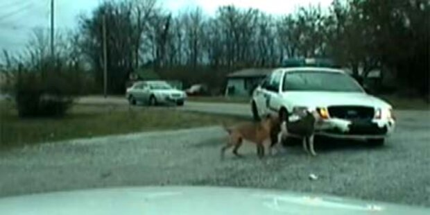 Video: Hunde zerbeißen ein Polizeiauto