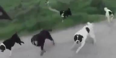 Wildes Hunderudel attackiert Mountainbiker