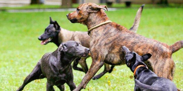 Hunde mit Überdosis holten Rettung