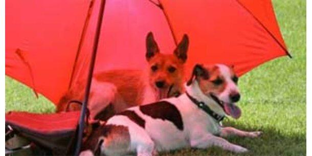 Drei Gene bestimmen Fellfarbe von Hunden