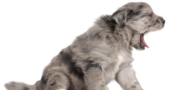 Hunde lassen sich von Gähnen anstecken