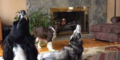 Hund lernt Kollegen das Heulen!