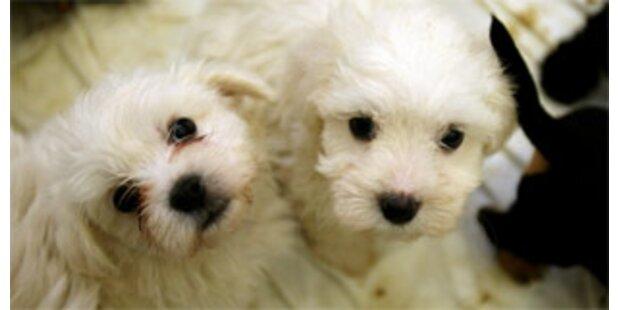 Zittern um die 137 Schmuggel-Hundewelpen