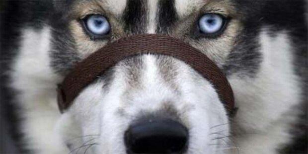Husky beißt Mädchen (1) in den Kopf