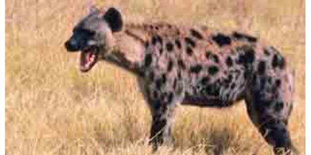 Vater rettete Tochter aus Hyänen-Maul
