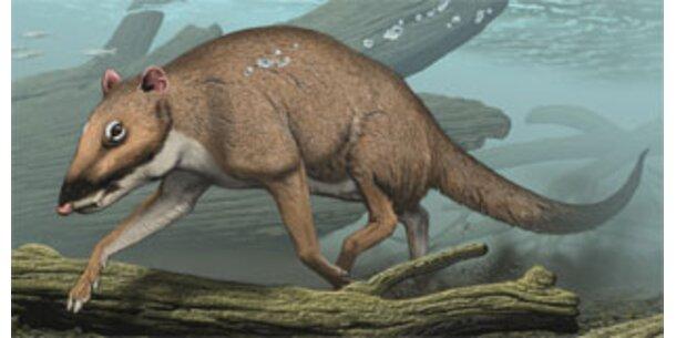 Rattenähnliches Monster war Vorläufer des Wals