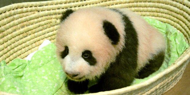 Entchieden: Japan tauft Panda-Baby Shan Shan