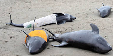 Delfinsterben: Angst vor Tsunami in Japan