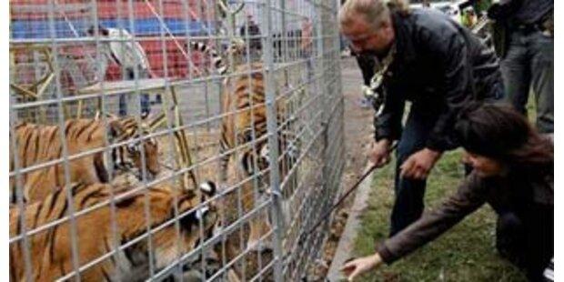 Zirkusdirektor mit vier Tigern im Dunkeln