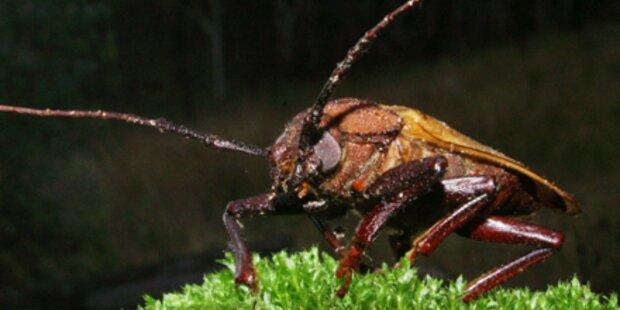 Lust auf einen Käfer mit Schokoguss?